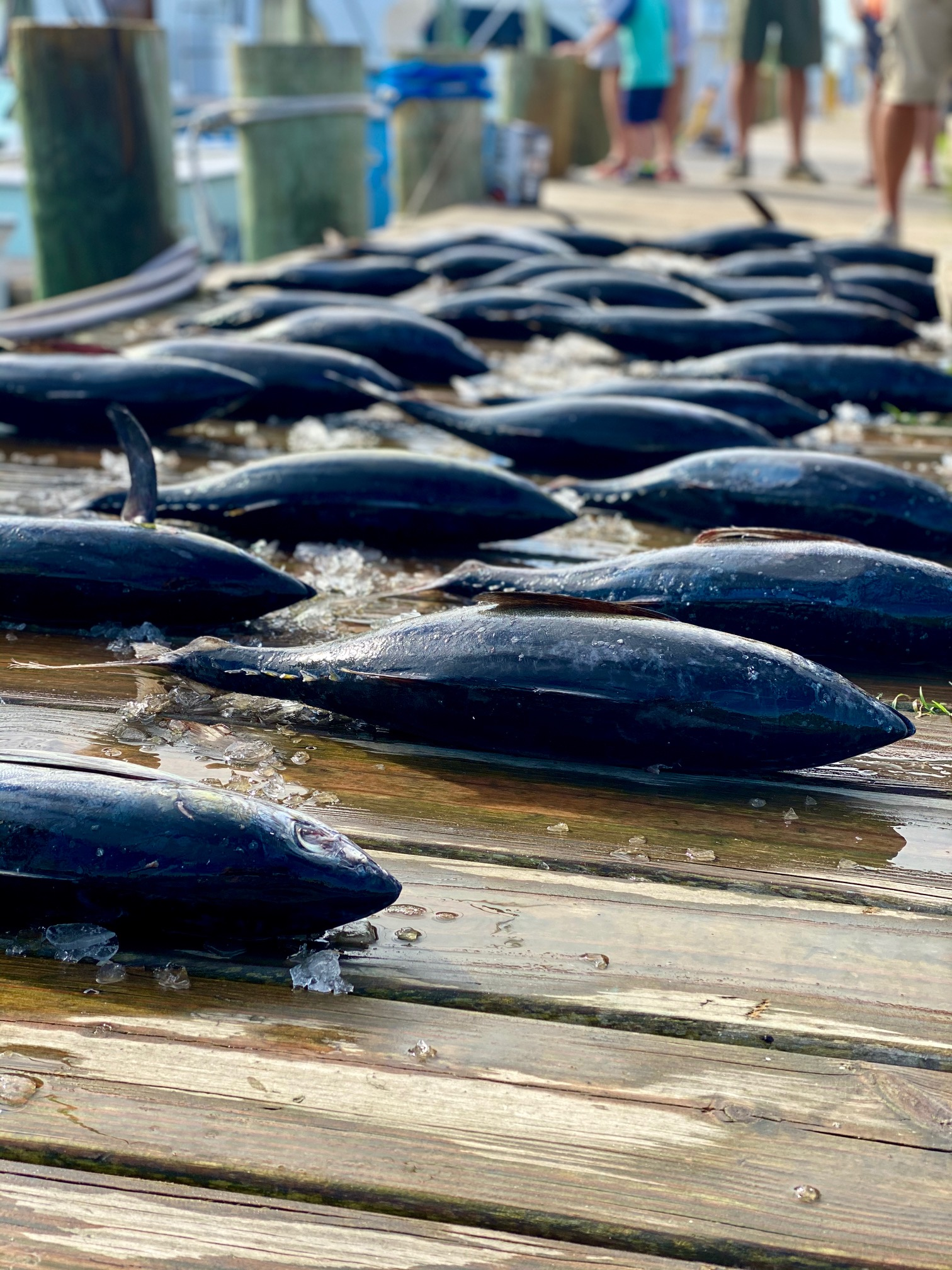 Tuna Teach's Lair Hatteras Sportfishing