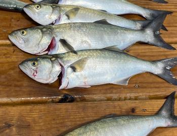 Bluefish Teach's Lair Hallelujah Charters