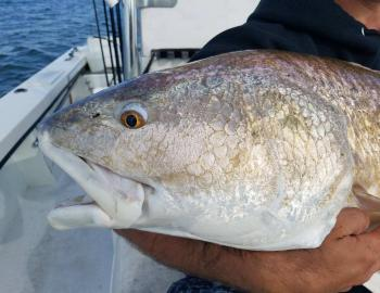 Red Drum Teach's Lair Hatteras Inshore Fishing Charter