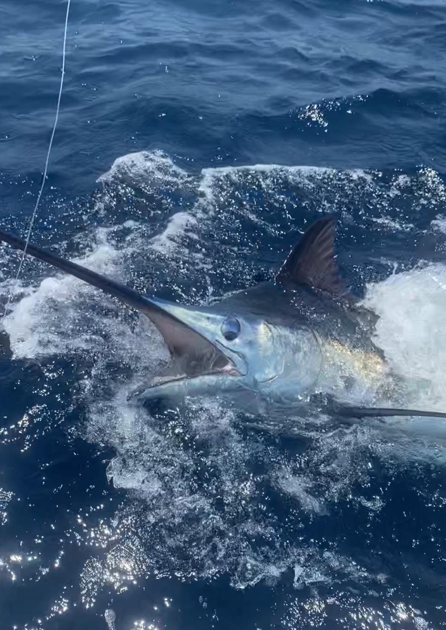 Blue Marlin Longer Days