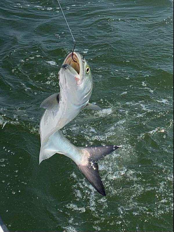 Bluefish Teach's Lair Hatteras Fishing