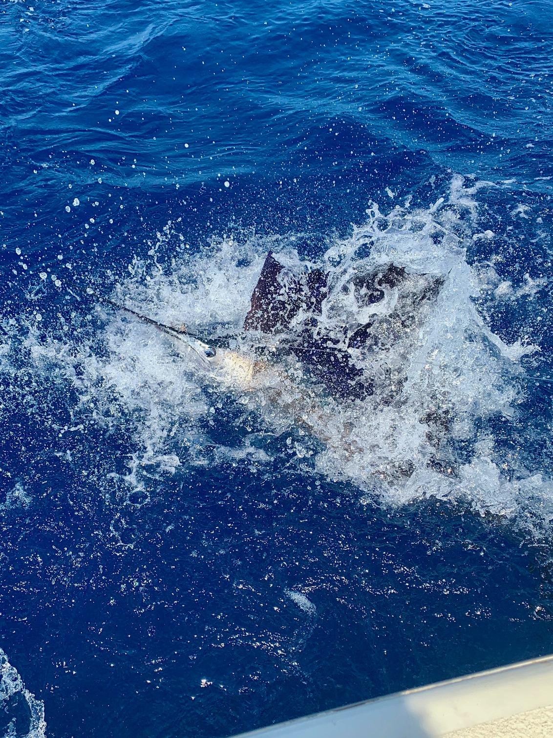 Hatteras Sportfishing Charters Sailfish Release Citation Teach's Lair